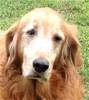 This is Casey and she is 9 years old. Her owner passed away and the family was not able to take care of her. She is house trained and comes when called. The adoption fee for Casey has been donated for her forever home. This senior girl is at Middle Tennessee Golden Retriever Rescue.