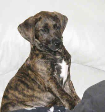 plotthound photo | pet classifieds plott hound plott hound rescue