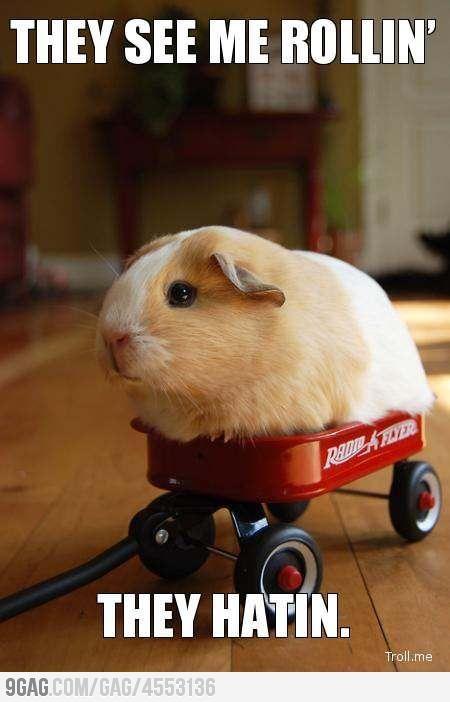 Gangsta guinea pig