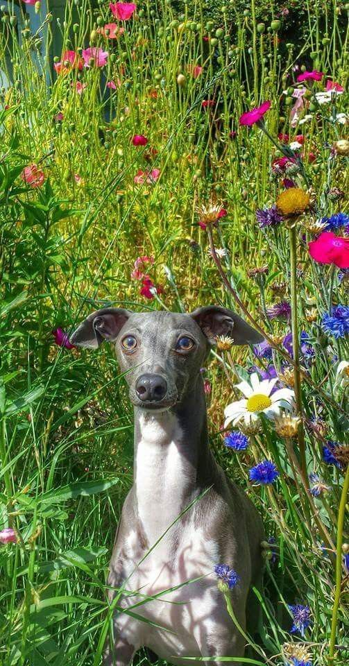 Asher the Italian Greyhound Romping in the wildflowers of
