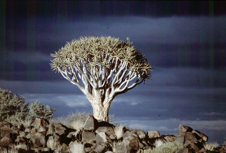 Kokerboom (Keetmanshoop)