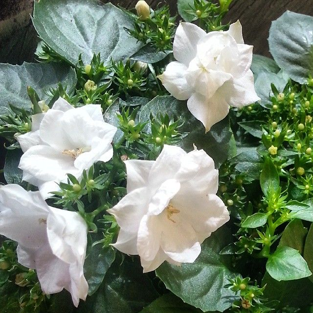 Kaunis #kesäkukka #morsiuskello tai morsiushuntu viihtyy sisällä ja ulkona.  Lovely white #campanula is also called #fallingstars or #Italian #bellflower - a real #spring and #summer #plant #kukat #flowers #blommor #kukkakauppa #florist #Kotka #suomi #finland