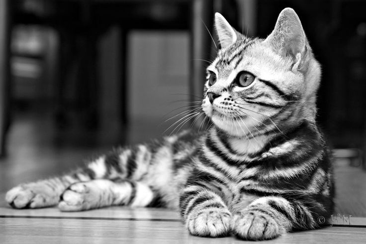Black Silver Classic Tabby American Shorthair - The next cat I want!
