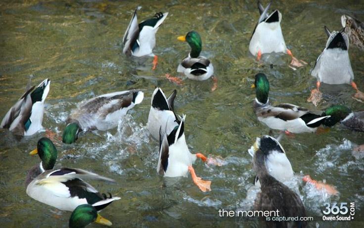 Harrison park ducks in Owen Sound Ontario. full gallery here: www.365owensound.com/content/walk-through-harrison-park