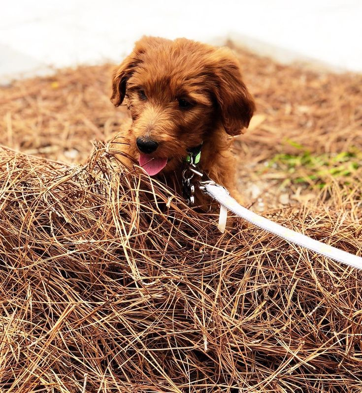 Golden doodle pup goldendoodle food animals golden