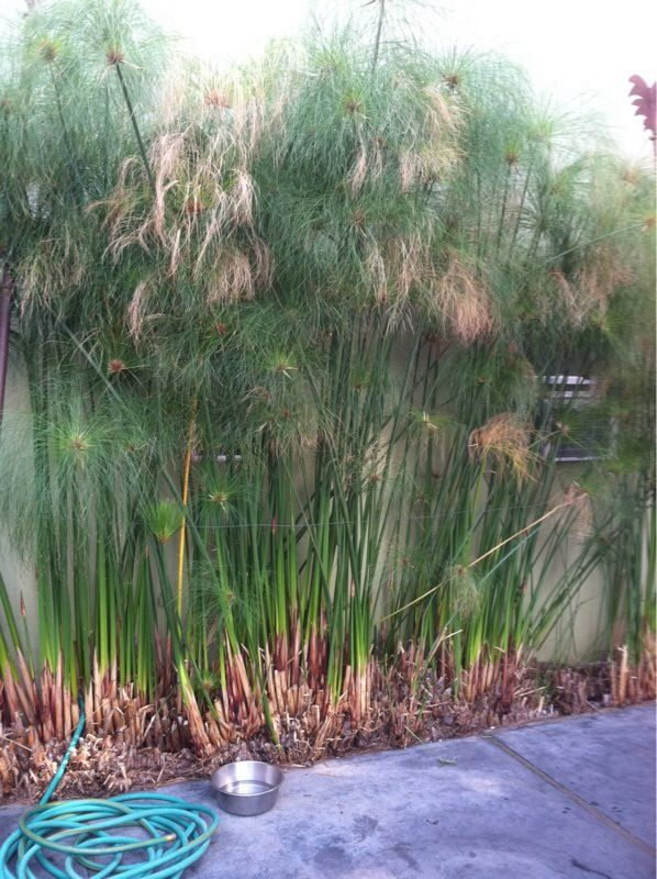 24 best images about mygardenanswers on pinterest for Perennial pond plants