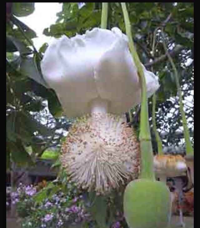 Baobab fruit and flower