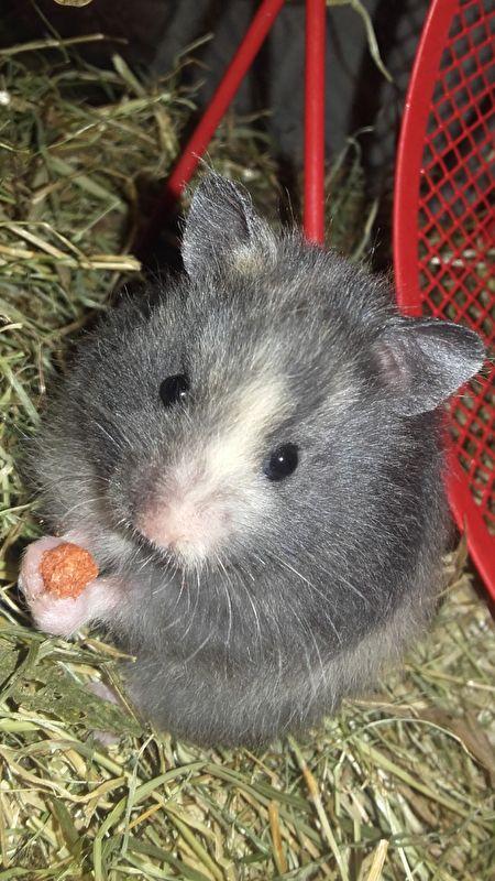 Schildpad Syrian Hamster