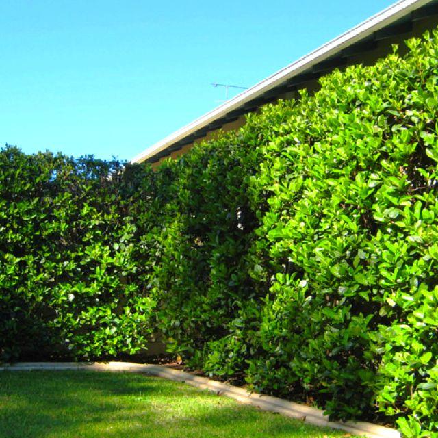 Viburnum Hedge Home Decor Pinterest Gardens Garden