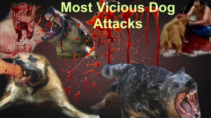 Pitbull Dog attack on people Compilation|Vicious Pitbull attack