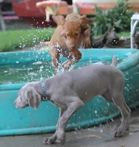 Pic from a Weimaraner and Vizsla Breeder - Puppies For Sale