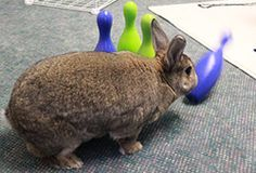 Games to Play with Your Rabbit - Did you know that rabbits like to play? They enjoy games that cater to their natural tendencies. Here are some games to play with your pet rabbit.