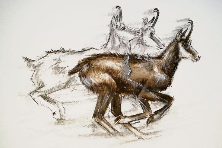 Rennende Gams. Running chamois.