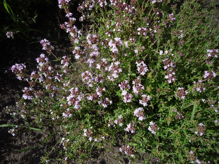 A kakukkfű az illatos kertek, napos sziklakertek mutatós növénye. Könnyen termeszthető. Ismert gyógy- és fűszernövény. http://kertlap.hu/kakukkfu/