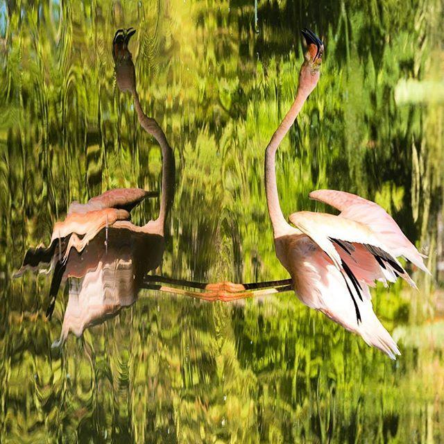 Parallel world. . #nature #parallel #flamingo #dual #nature #naturephotography #animal #animalphotography #photography #photooftheday #animalovers #birds #pink #wildlife