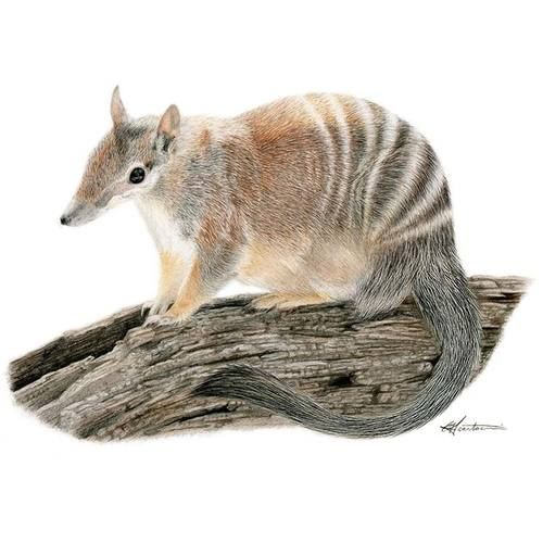 Kirra the #numbat from #Perth #Zoo, who is going to be entered into the 2016 #Perth #Royal #Show #art competition! Take it home today: bit.ly/29Kv8OT