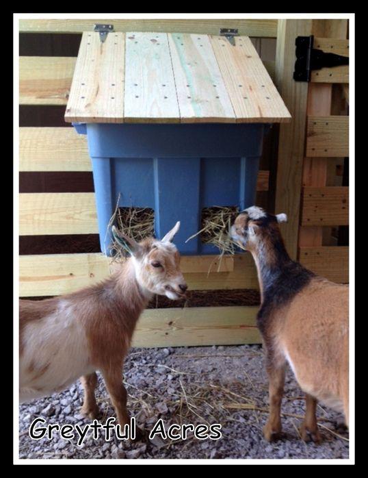 Scarlet & Esmeralda eating from hay feeder