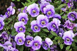 Flowers, Plant, Purple, Pansy