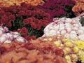 How and When to Transplant Garden Mums