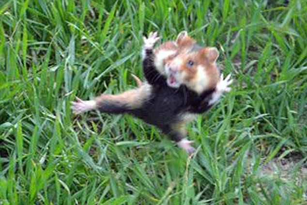 """""""Kung Fu Guinea Pig"""": Animal Pics, Kungfu Fight, Kung Fu, Dogs Attack, Funny Animal, Kungfu Hamsters, Ninjas Hamsters, Russell Howard, Guinea Pigs"""