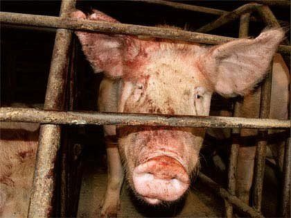 PETITION NOVEMBER 2016 Phase out sale of meat and dairy produced from factory farms at Loblaw Companies Limited . Please sign and share .#endfactoryfarming #ditchdairycruelty #govegan