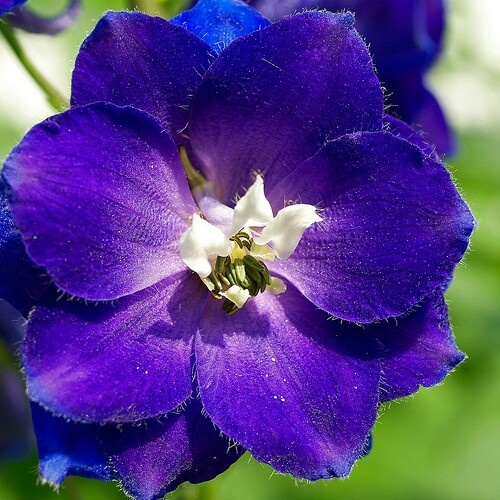 Larkspur flower ; flower for month of july ; somehow incorporate my brother and Logan