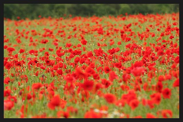 Veteran's Day / Poppy Day by shellorz: Taken on June 2, 2007 in Sotteville, Haute-Normandie, FR. #Flanders_Field