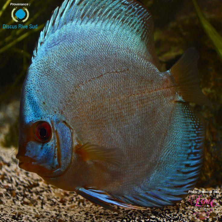 1072 Best Fish Discus Images On Pinterest Discus Fish