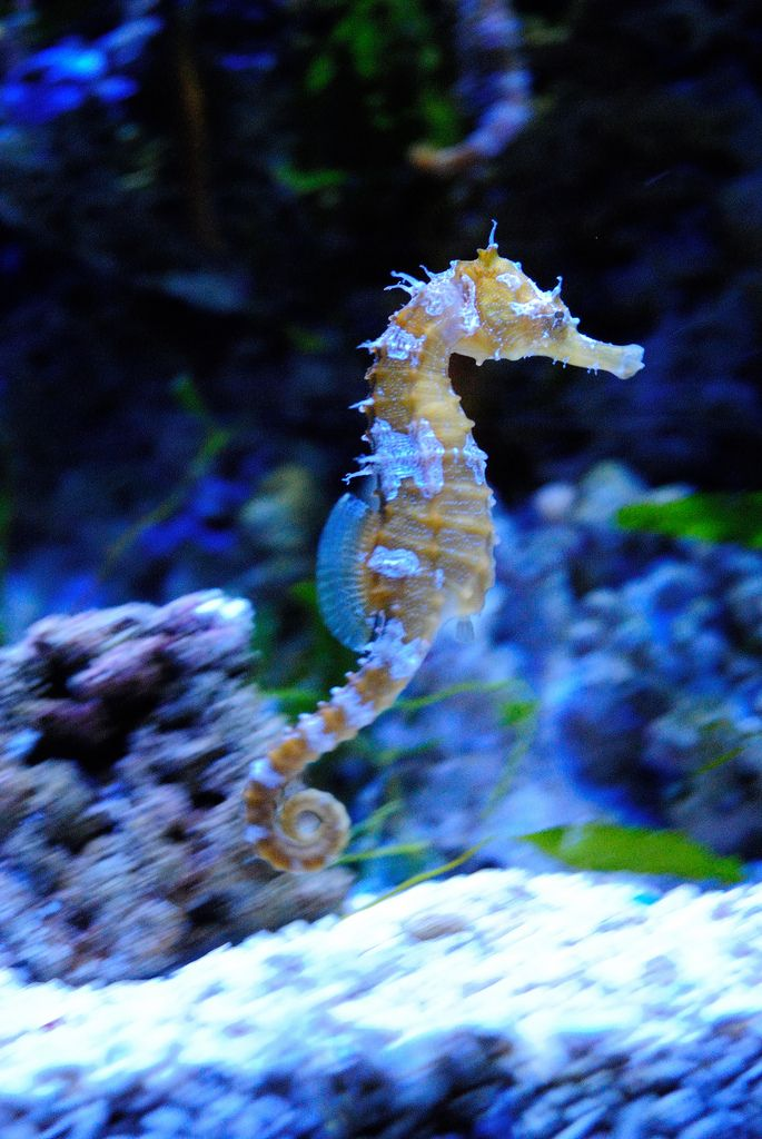 a study on the seahorse Study on the extraction and purification of glycoprotein from the yellow seahorse, hippocampus kuda bleeker yuting su and yongjian xu school of marine sciences, ningbo university/key laboratory for applied marine biotechnology of ministry of education, ningbo, 315211, china.