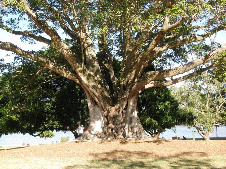Fig tree trunk in a park along the Brisbane River