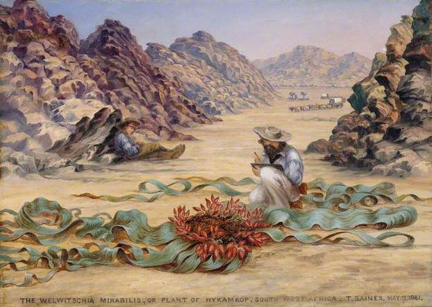 Thomas Baines painting of Welwitschia mirabilis; a really cool desert South African plant that can live around 1,000 years!