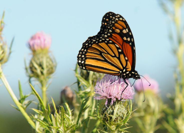 A Monarch butterfly (Danaus plexippus), gorges itself on the purple Spear Thistle before its long flight toward Mexico, on Tuesday at McFarland Park near Ames. Huge declines in Monarchs across the Midwest and other parts of North America have been reported and are due, in part, to the widespread eradication of the milkweed plant, which serves as both a food source and hatchery for the insects. Photo By Eli Hamann/Ames Tribune