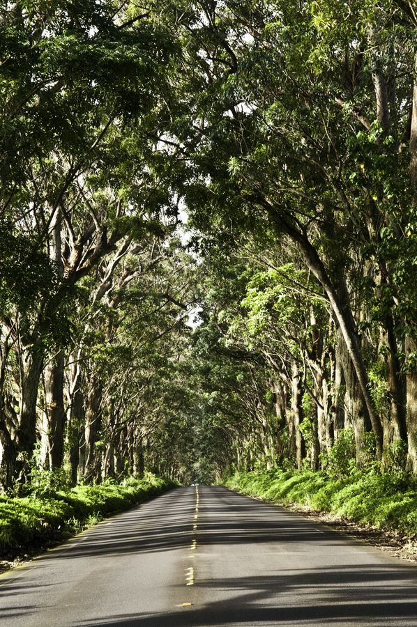 Kauai, the tree tunnel to Poipu, picture don't do this justice...Steve and I drove through this on our way...to be engaged ..little did I know...