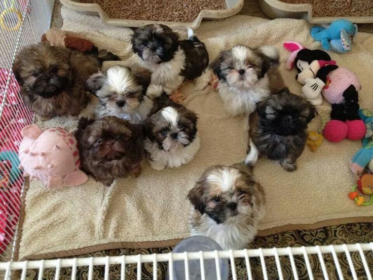 Puppies!♥ Shih Tzu