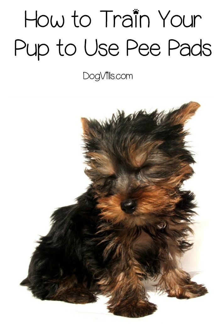 4812be87eaa84625533619ee8ef41510 - How To Get My Puppy To Use Puppy Pads