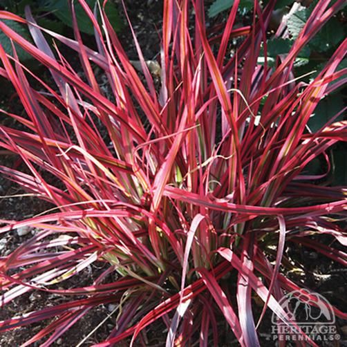Best 20 pennisetum setaceum ideas on pinterest red for Perennial grasses red