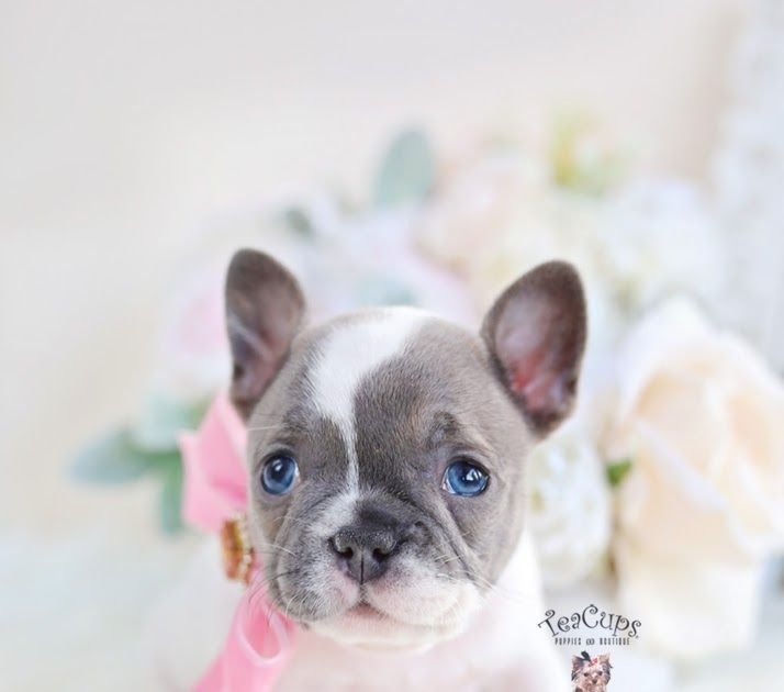Blue French Bulldog Puppies Blue French Bulldog Puppies French Bulldog Puppies Bulldog Puppies
