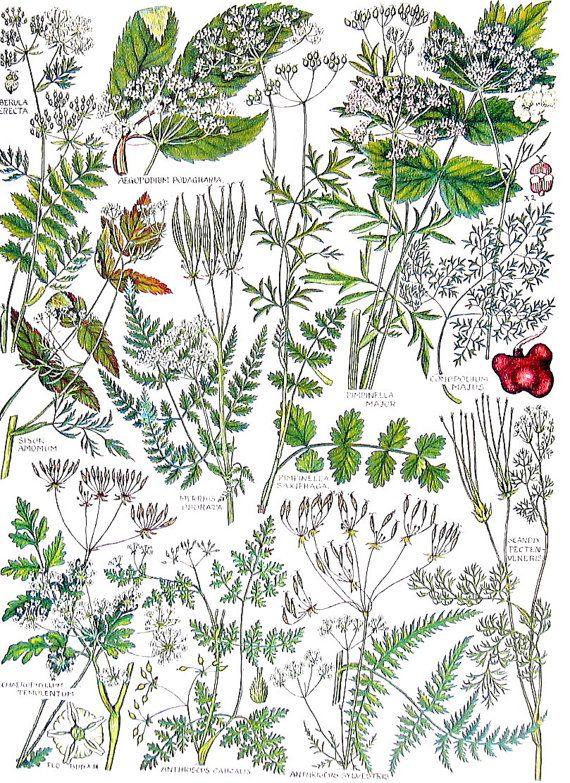 Británicas flores y especias Honewort por mysunshinevintage
