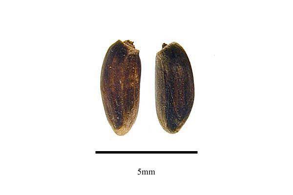 http://www.ars-grin.gov/npgs/images/sbml/Cirsium_verutum_seeds.jpg