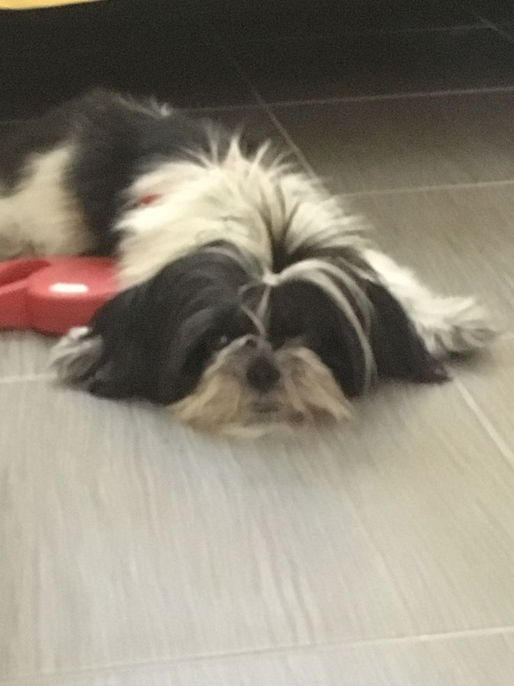 I want to go for a walk! Shih Tzu dog   #doglovers