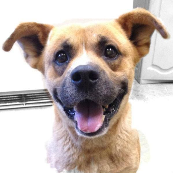 Chiller - Boxer & Shepherd Mix Richland County Dog Warden Mansfield, Richland County, OH ~TM~  Adult • Male • Large  Hi there, my name is Chiller. I came to the shelter as a stray on 5/23/14. Everyone who meets me comments on how cute I am. I am trying to not get a big head, I just want to have a home  Richland County Dog Warden  Address: 810 North Home Road, Mansfield, OH 44906 Phone: 419-774-5892 Email: richlandcountydogs@yahoo.com