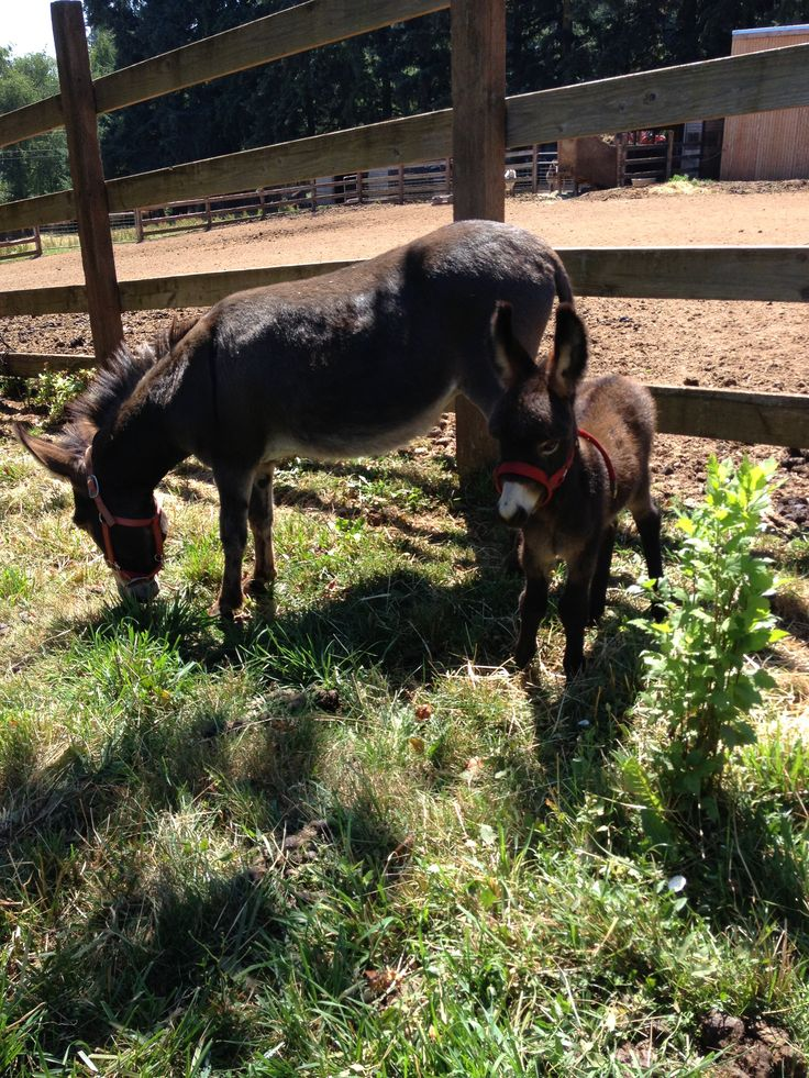 """Chocolate Suprise and her foal """"Razzy"""" He was born 6/29/14 Tollen Farm"""