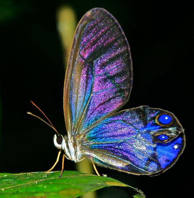 Clearwing, Guyana (Cithaerias sp.) by pbertner, via Flickr