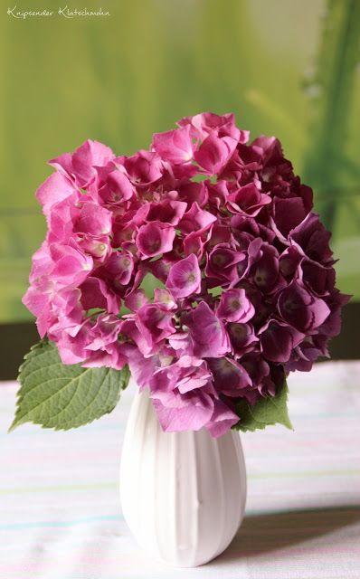 Hydrangea Hortensie
