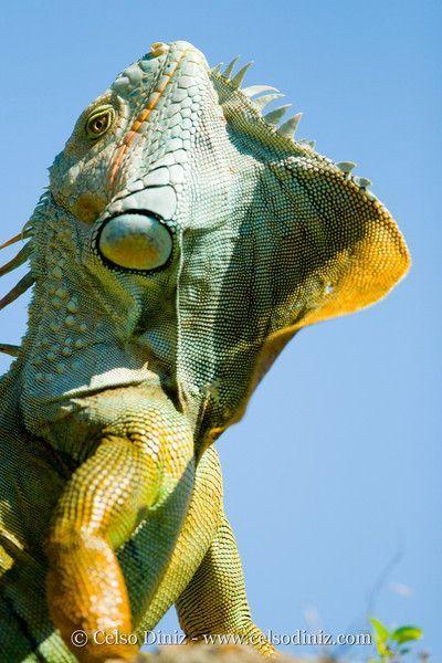 Green Iguana Photo By Celso Diniz