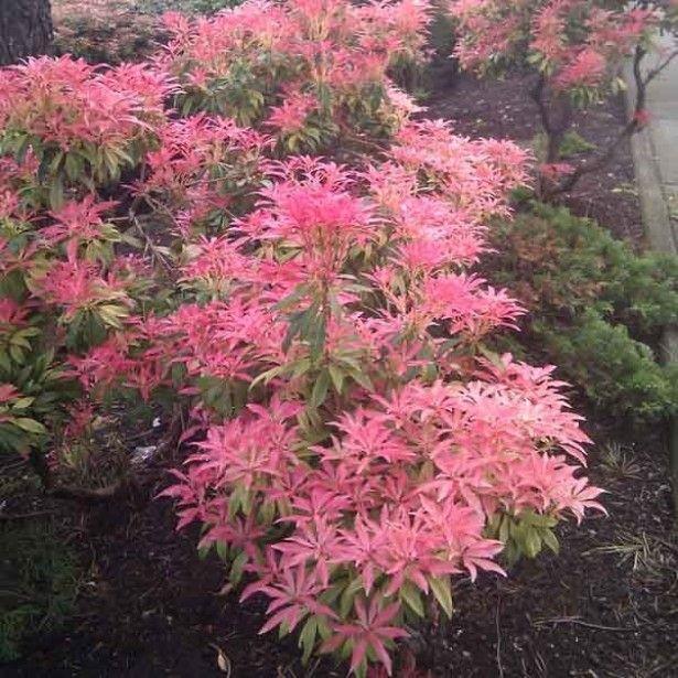 Andromède du Japon - Pieris Forest Flame en pot de 10L.