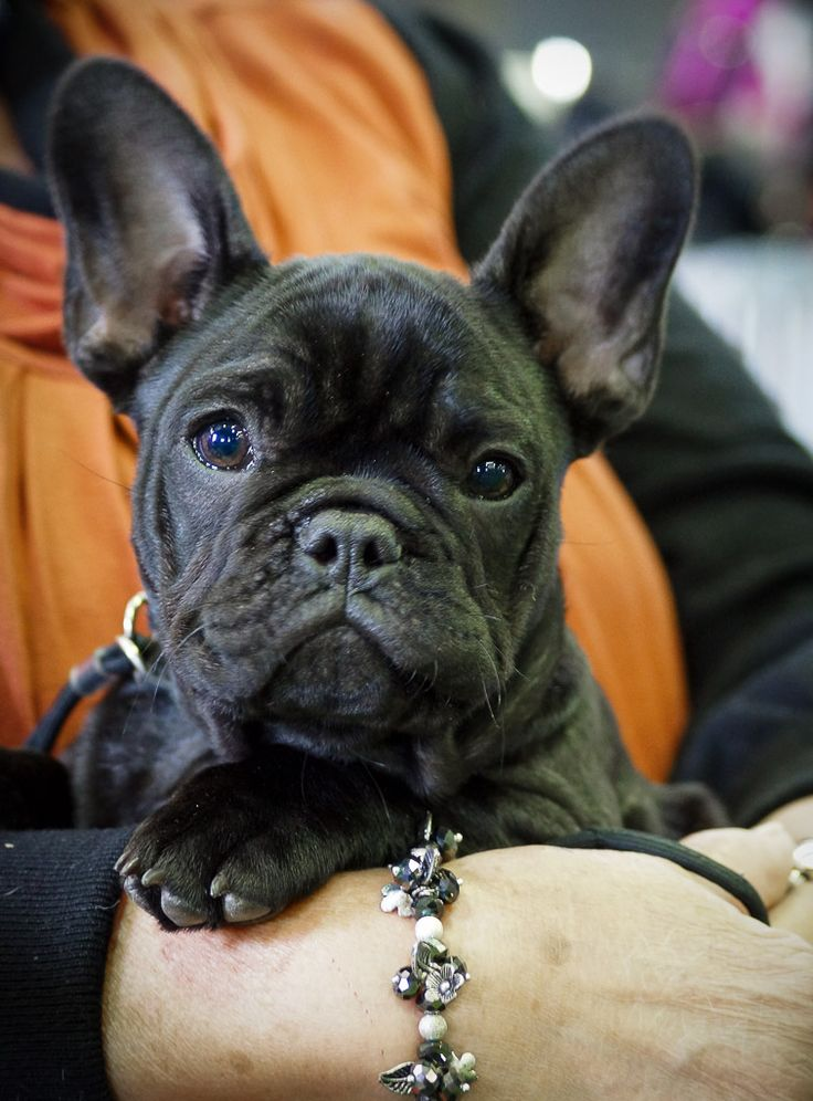 French Bulldog Puppy.: