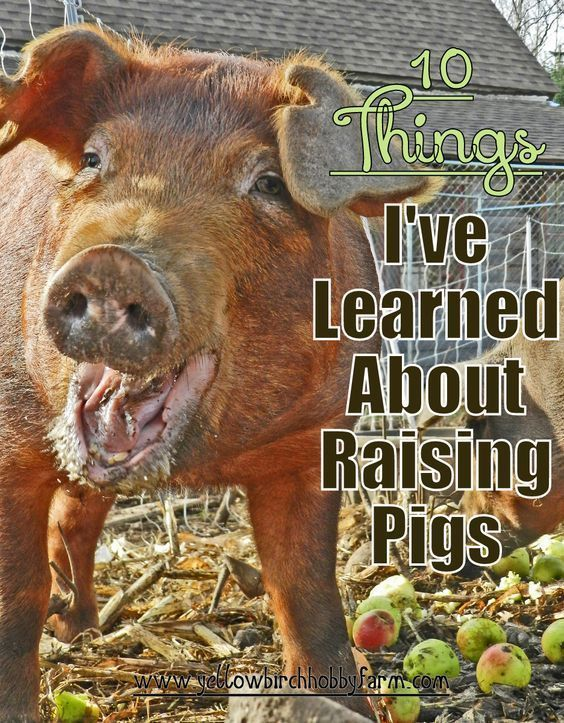 10 Things I've Learned About Raising Pigs- Yellow Birch…