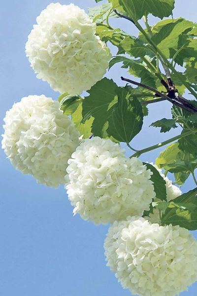 Snowball Trees I Love The Name Flowers Flowers Plants Garden