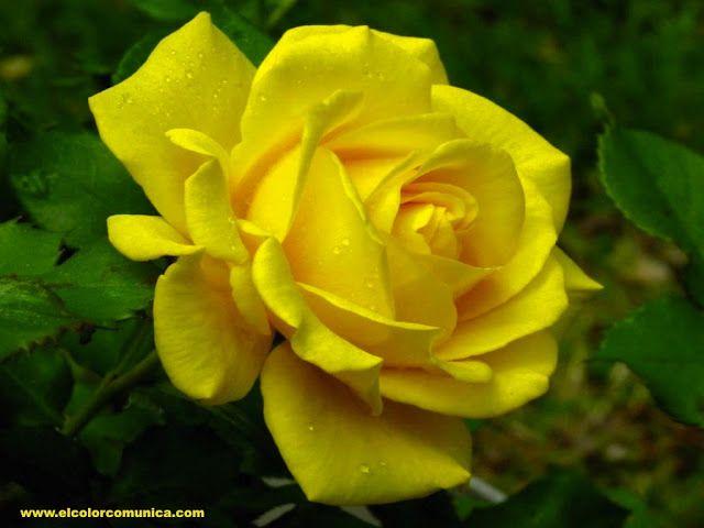 EL COLOR COMUNICA: Significado de las rosas amarillas @ElColorComunica